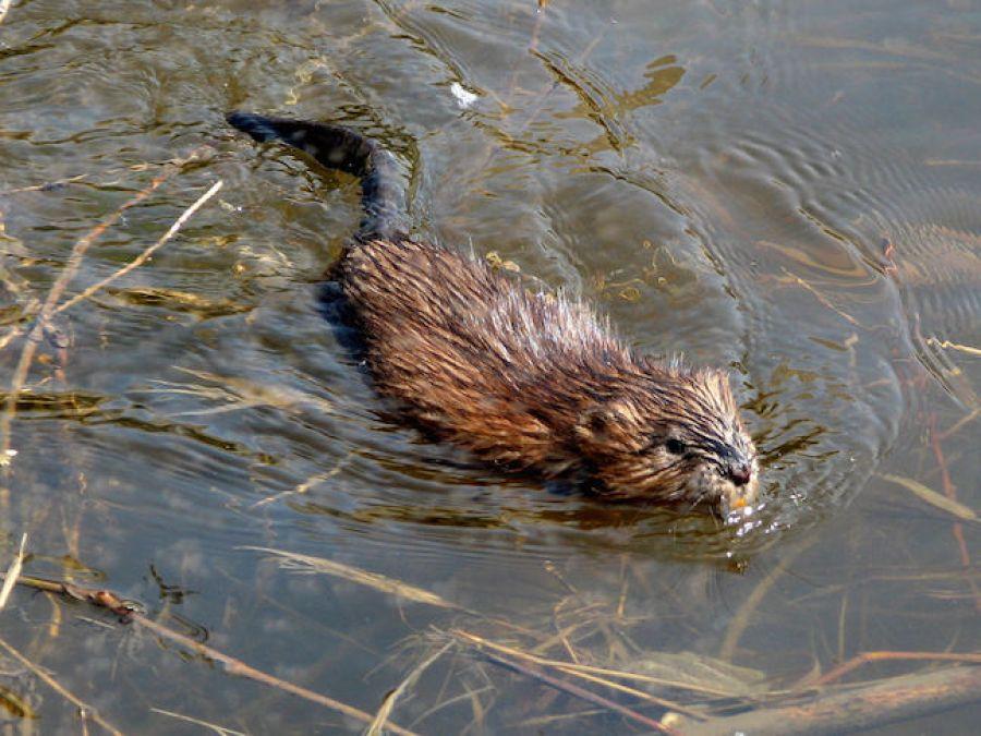Muskrat Pond Trouble? / Platinum Ponds & Lake Management ...
