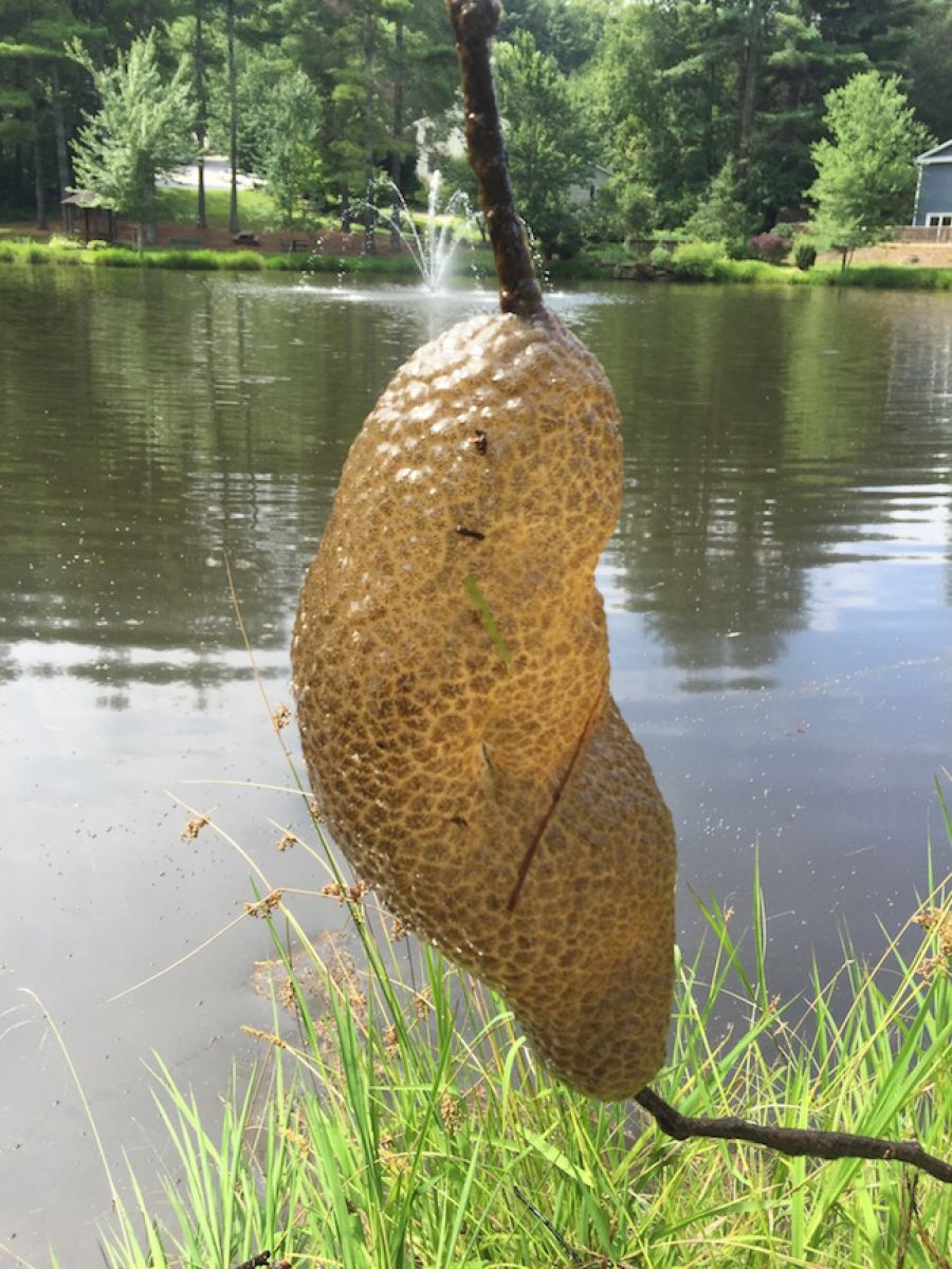 Golf Charlotte Nc >> What is This in My Pond? Bryozoan - Phylactolaemata ...